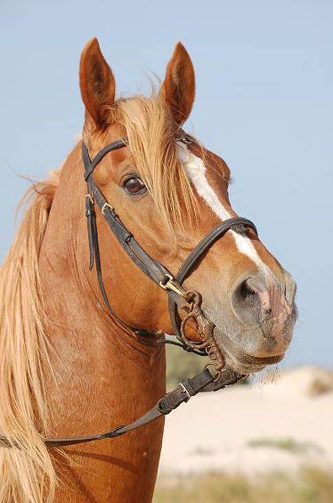 Cheval Tete cheval tete